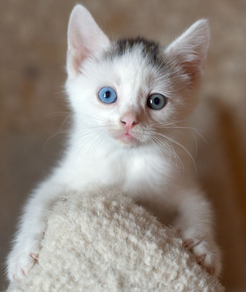 des chats avec des yeux de couleurs diff rentes. Black Bedroom Furniture Sets. Home Design Ideas