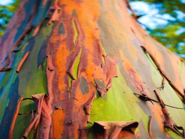 Eucalyptus Arc En Ciel